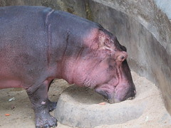 Hippopotamus. amphibius