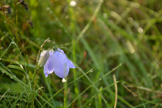 Bluebell in the grass