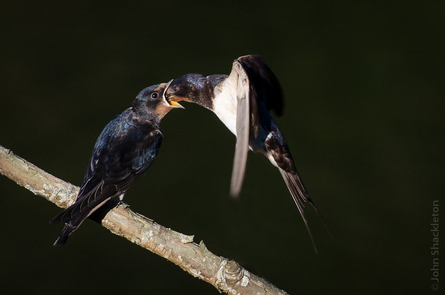 Young Swallows Feeding III