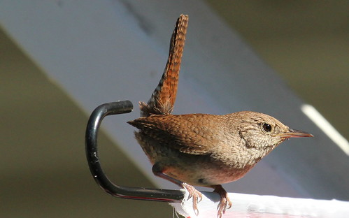 House wren by ricmcarthur