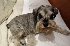 dog breed, animal, dog, schnoodle, pet, glen of imaal terrier, standard schnauzer, schnauzer, cesky terrier, cairn terrier, irish soft-coated wheaten terrier, miniature schnauzer, carnivoran, terrier,