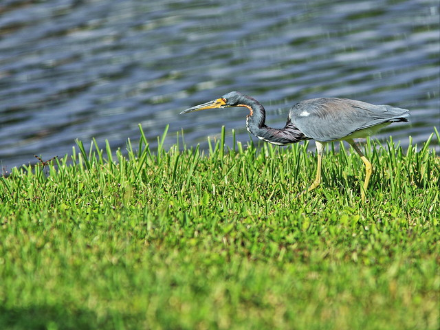 Tricolored Heron stalking dragonfly 20131021