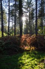 Thetford Forest in Autumn