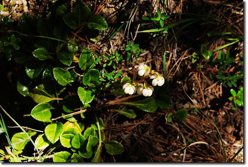 玉山鹿蹄草 2