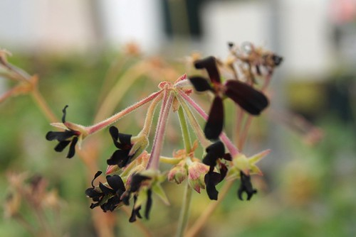 Pelargonium sidoides, a form with almost black flowers