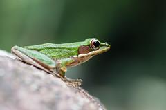 Amphibians of Thailand