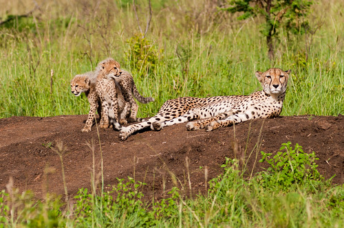 africa travel game nature animal animals fauna cat southafrica nikon feline wildlife bigcat naturereserve wildanimal cheetah wildcat gamepark gamedrive gamereserve cheetahcub gameviewing