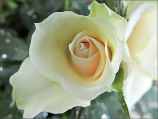 Parade Rose #2