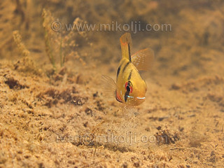 Stock Photo Mikrogeophagus ramirezi Ram Cichlid Images Picture 089