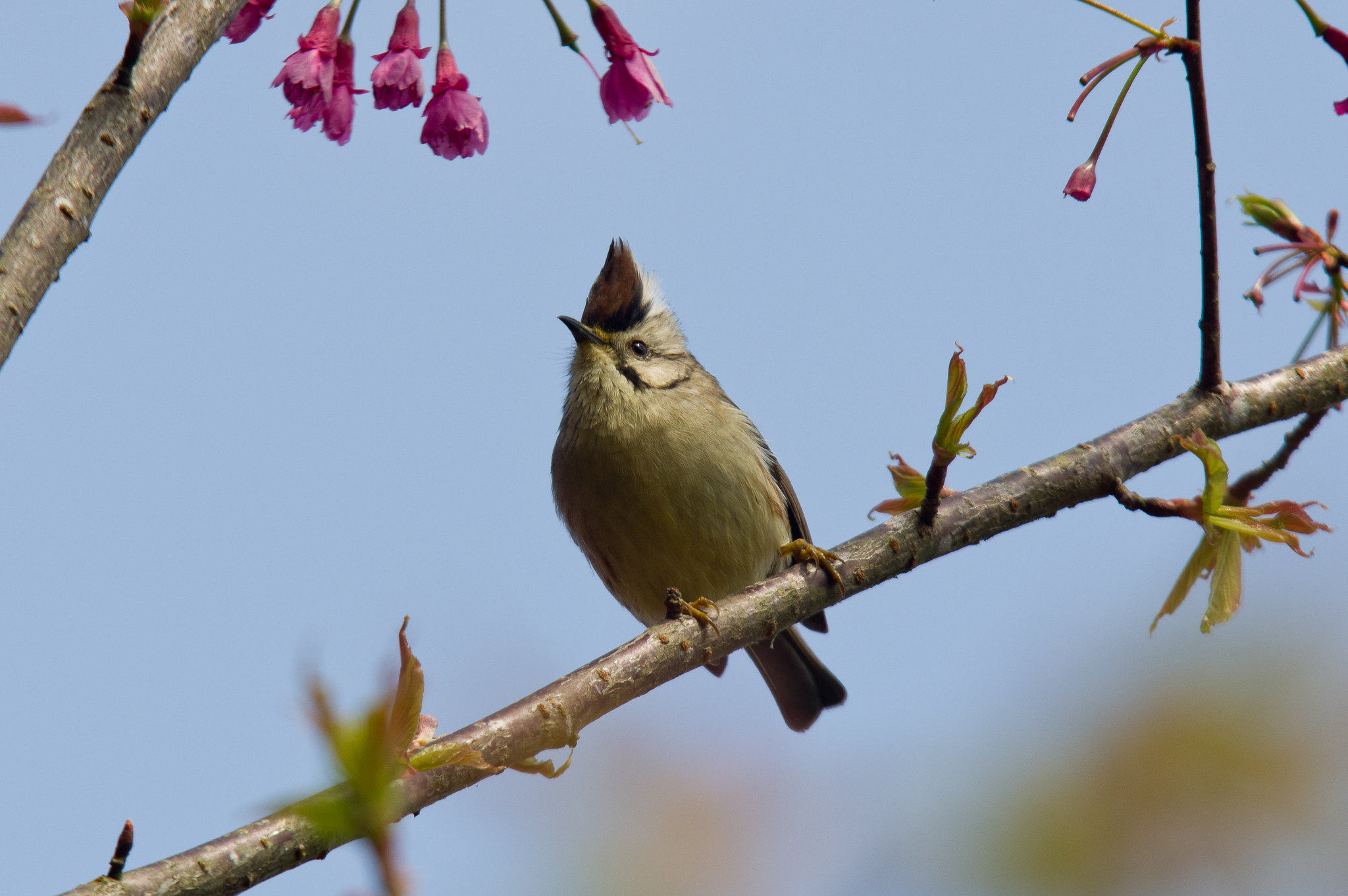 冬末春初的冠羽
