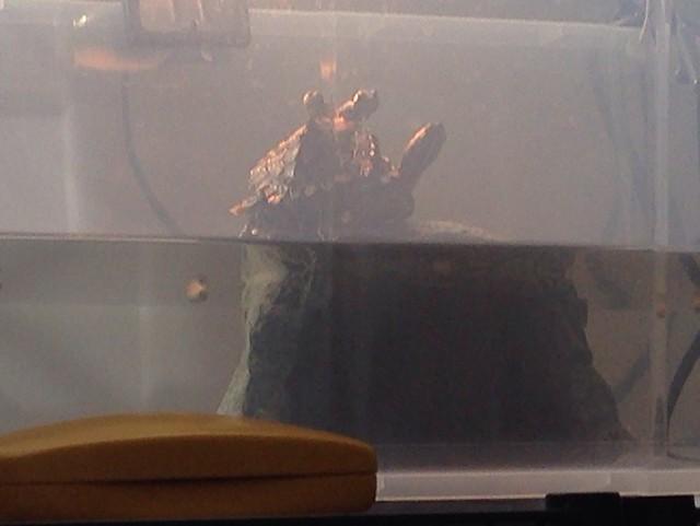 2014/2/25 ワモンチズガメ 3匹仲良くバスキン中(こっそり遠目で観察&撮影)