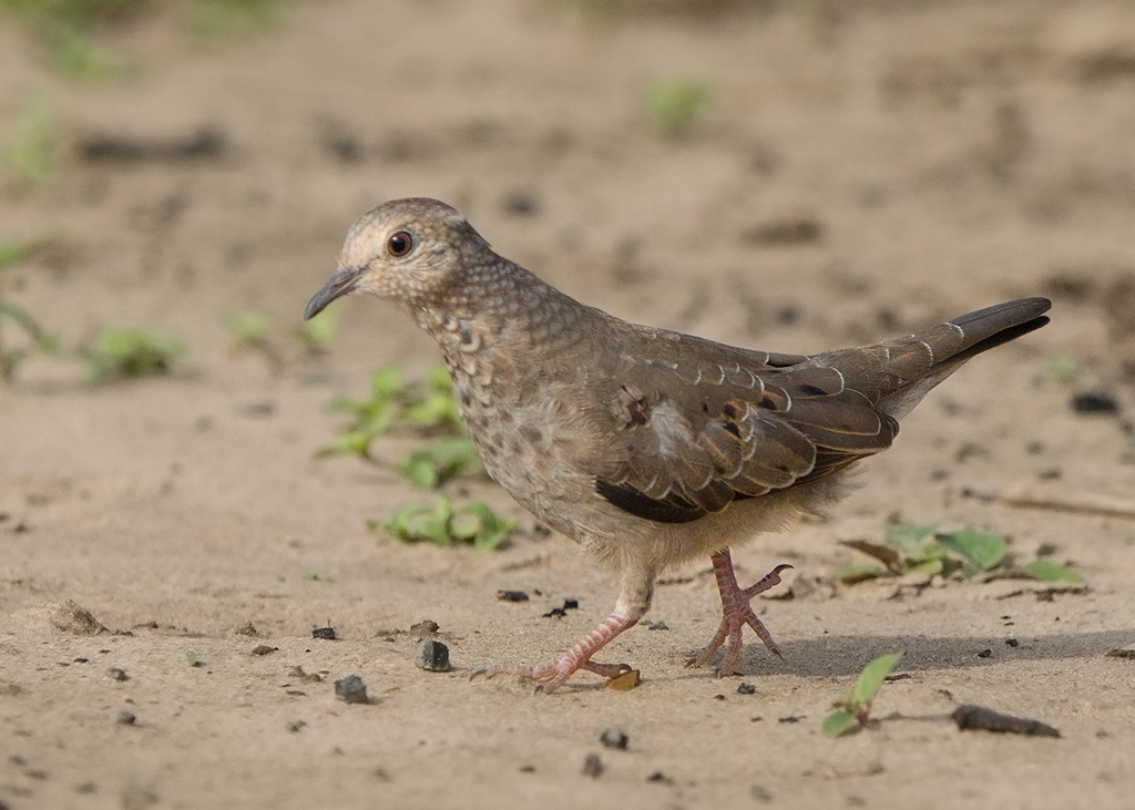 Common Ground Dove 2014-01-25