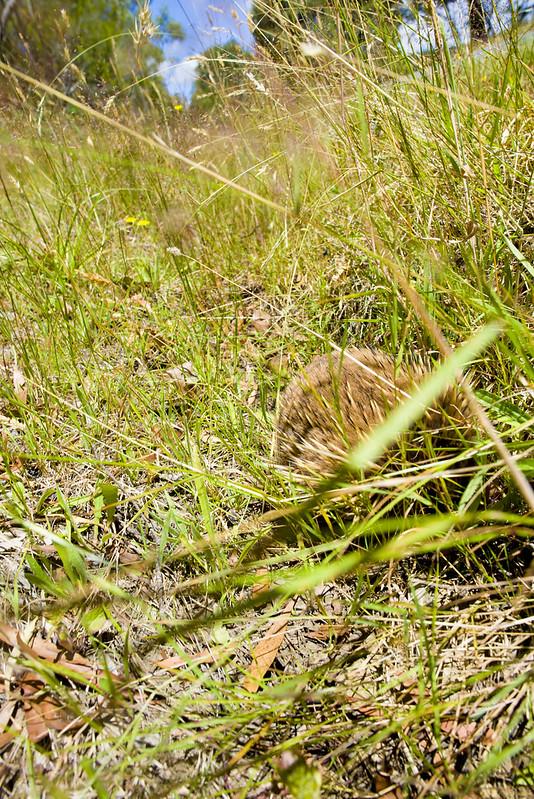 echidna in Tasmania