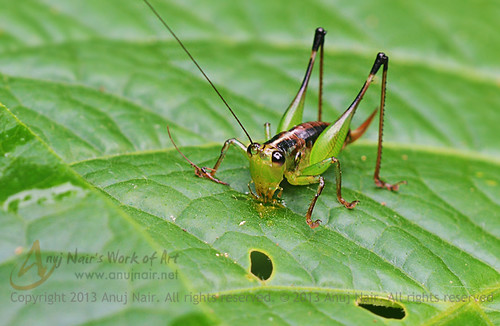 Bush-cricket ( India )