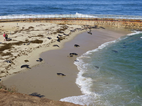 seals on the beach at La Jolla Cove