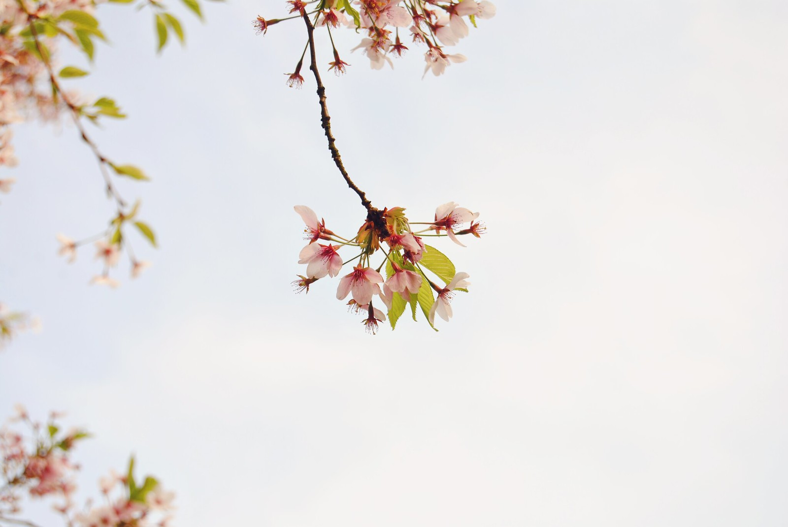 A close up of the cherry blossoms in Amsterdam