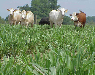Picture of cows in a millet field
