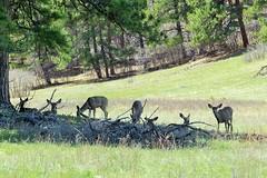 Mule Deer at Rest
