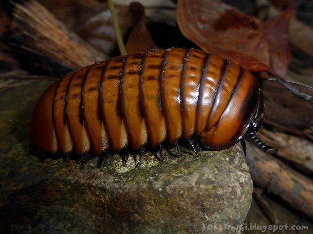 15 Bukit Serumbu Bothrobelum rugosum 3