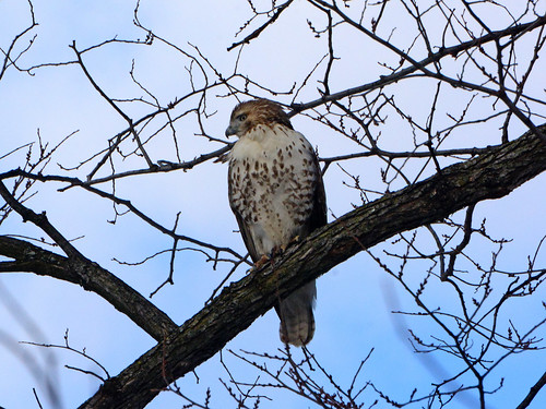 Young Riverside Red-Tail - 4909