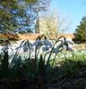 Churchyard Snowdrops 1