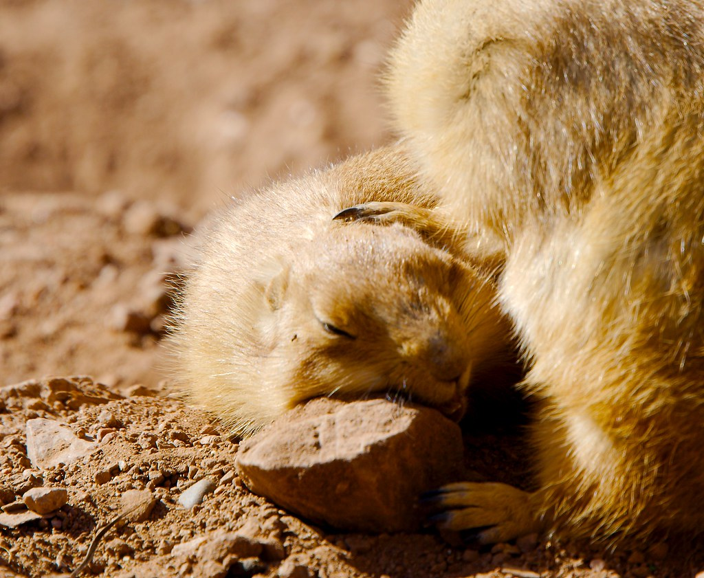 Prairie Dog_2