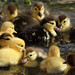 """~ """"RUBBER DUCKIES, THEY ARE NOT"""" by pinoyphotog"""