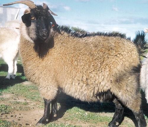 喀什米爾山羊:Photo by Wikipedia