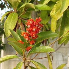 shrub(0.0), strawberry tree(0.0), produce(0.0), fruit(0.0), food(0.0), evergreen(1.0), flower(1.0), leaf(1.0), tree(1.0), plant(1.0), flora(1.0), bay laurel(1.0),