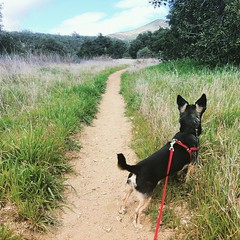 My hiking buddy. Really working on training him to walk on a loose leash and not pull so much. It's working, slowly. #chihuahua #chiwolfhua #chihuahualife #dogtraining #hiking #socal #visitca #travel #wildwoodcanyon #yucaipa #california