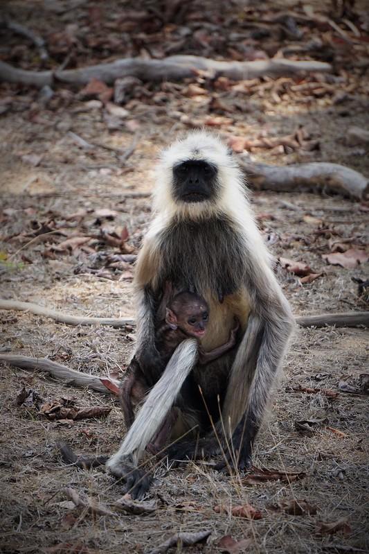 Hanuman Langur w/ Infant