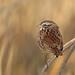 Song Sparrow, Almoloya del Rio, México, Mexico por Terathopius