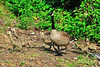 Canada Goose And Goslings 16-0529-9854 by digitalmarbles