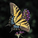 lady Tiger visits the purple butterfly bush - yesterday by Vicki's Nature