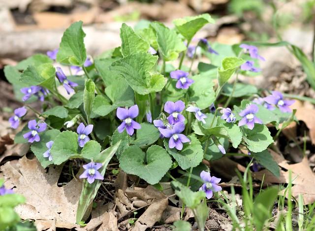 Violets 20130506