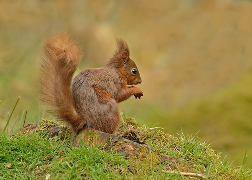 Red Squirrel by Andy Pritchard - Barrowford