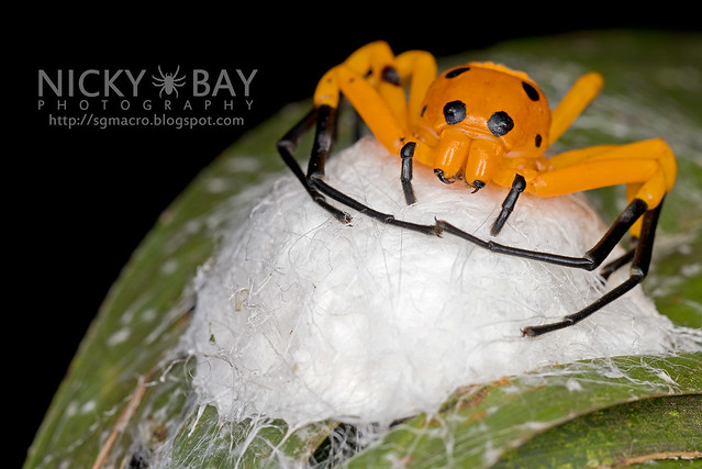 Eight-Spotted Crab Spider (Platythomisus octomaculatus) - DSC_1899