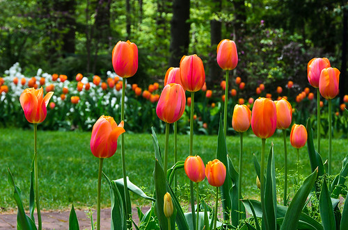 ohio spring tulips may springtime mansfield kingwoodcenter 2013