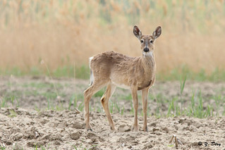 Cerf de Virginie / White-tailed Deer