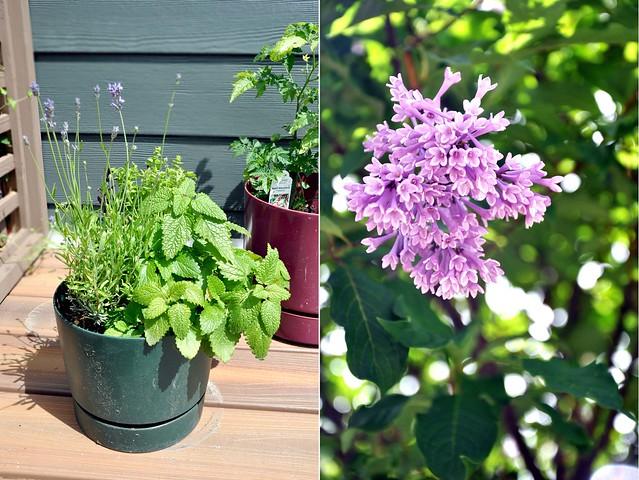 Herbs_Lilac