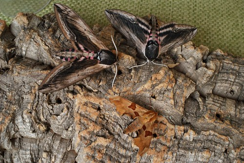 Lime Hawk-moth (Mimas tiliae) and Privet Hawk-moths (Sphinx ligustri)