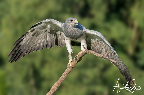 Chilean Blue Eagle Buzzard by TheApertureMan