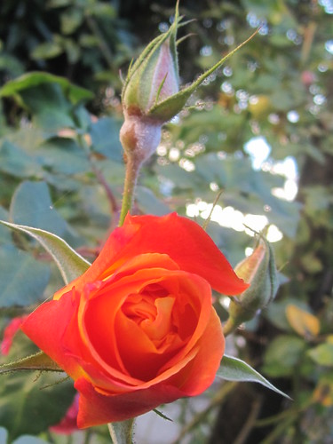 Red Rose and Flower Bud