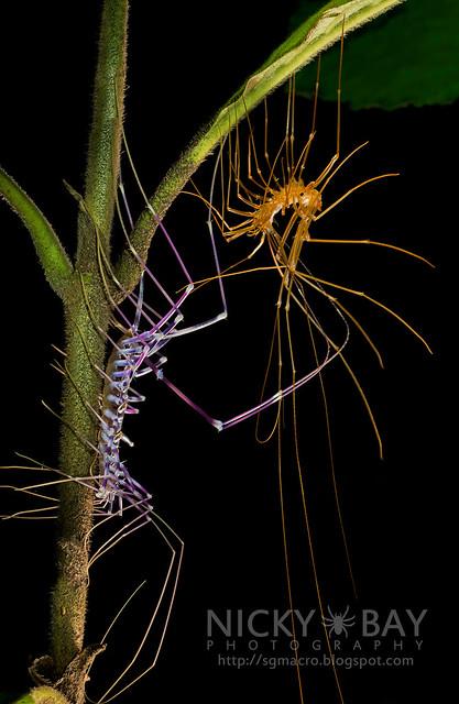 House Centipede (Scutigeridae) - DSC_0137
