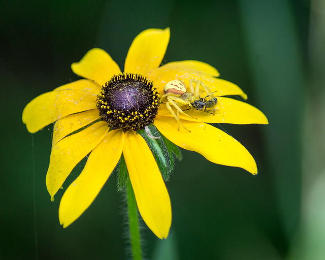 Spider, Crab Spider, Flower, Yellow, Green