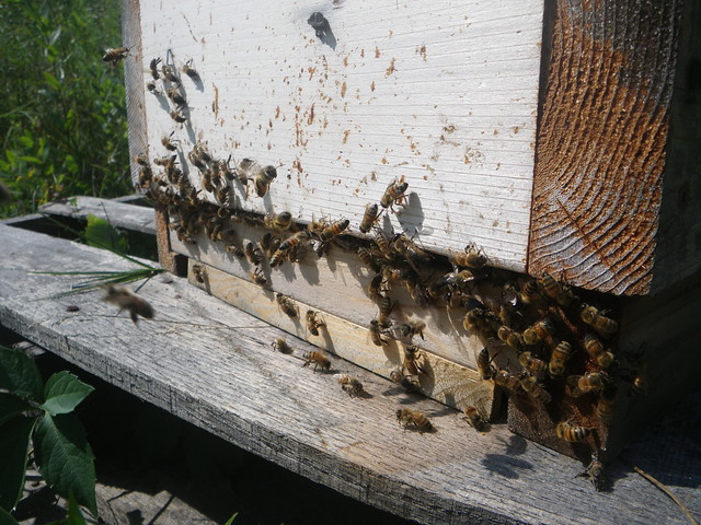 busy hive entrance