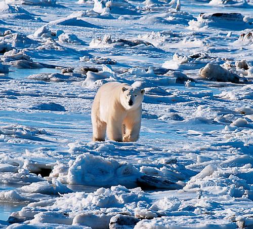 全球暖化 北極冰層減少 北極熊生活面臨考驗