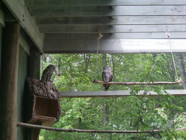 VINS Barred Owl