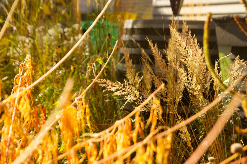 sunny calamagrostis  3711