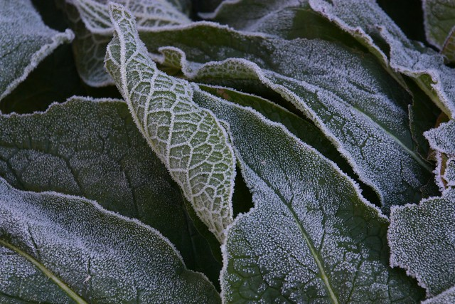 Frosted Comfrey